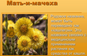Мать-и-мачеха - польза растения