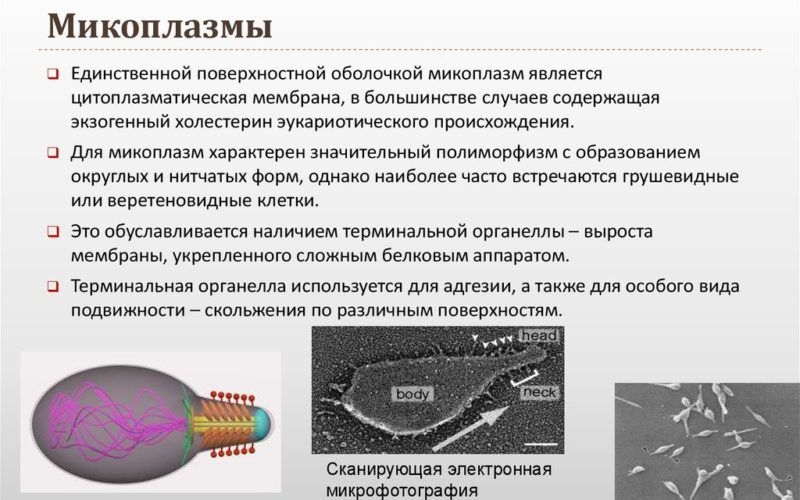 Микоплазмы