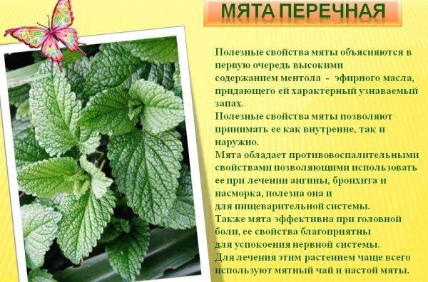 Лечебные свойства мяты