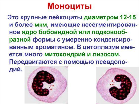 Моноциты