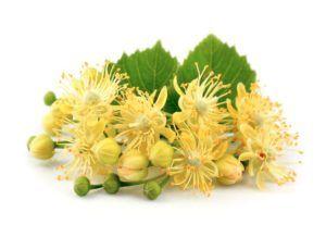 Цветки липы для лечения кашля