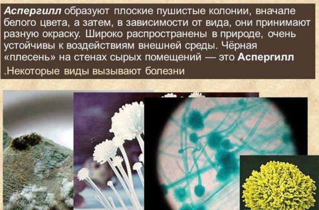Грибки Aspergillus