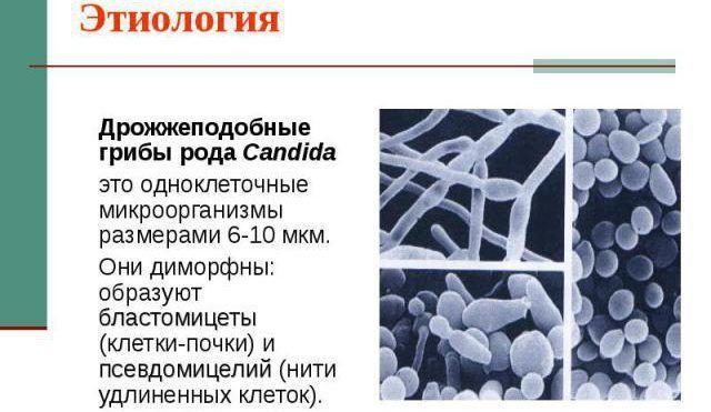 Грибок Candida albicans
