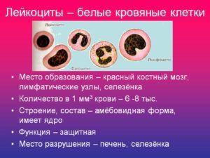 Лейкоциты и их норма в крови