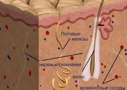 Потовые железы