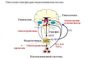 Функции гипоталамо-гипофизарно-надпочечниковой системы