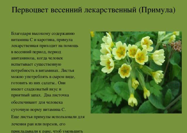 Корень первоцвета