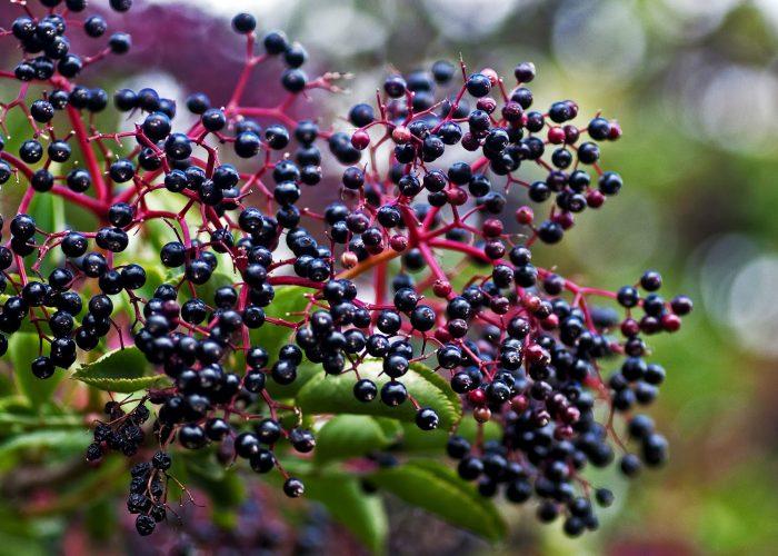 Листья черной бузины