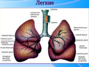 Месторасположение лёгких у человека