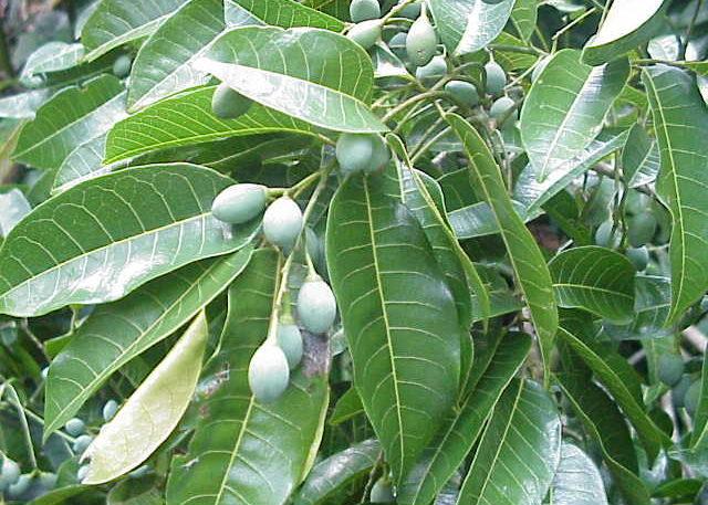 Плоды канариума