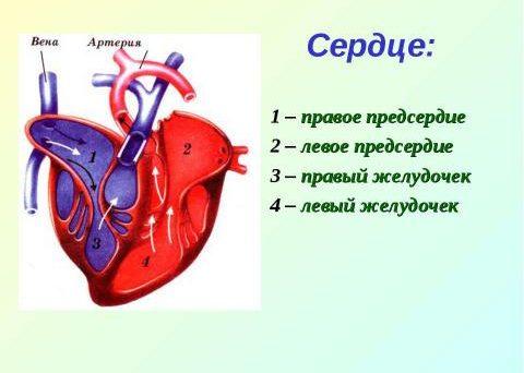 Улучшается наносная функция левого и правого сердечных желудочков
