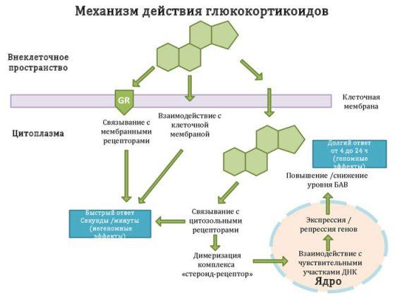 Механизм действия ингаляционных глюкокортикостероидов